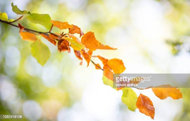 17 October 2018 North RhineWestphalia Bielefeld 17 October 2018 Germany Bielefeld Differently coloured leaves can be seen on a beech tree in the...