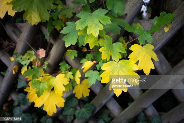 17 October 2018 North RhineWestphalia Bielefeld 17 October 2018 Germany Bielefeld Differently coloured leaves can be seen on a maple tree in the...