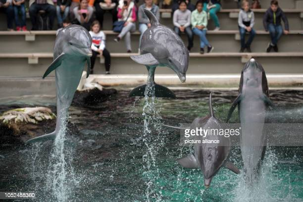 18 October 2018 North RhineWestphalia Duisburg Dolphins jump out of the water during the dolphin show Photo Federico Gambarini/dpa
