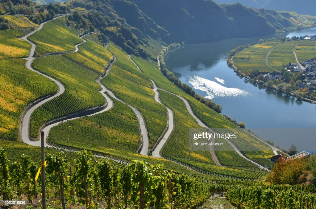 Largest wine harvest on the Moselle in 16 years : News Photo