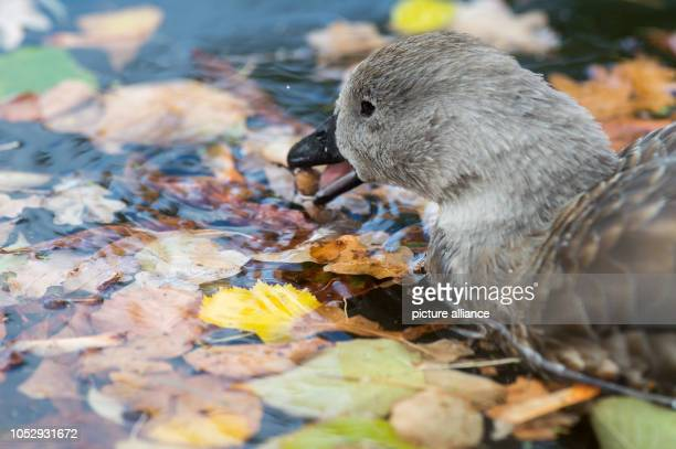 24 October 2018 SaxonyAnhalt Magdeburg 24 October 2018 Germany Magdeburg A bluewinged goose swims through a pond in Magdeburg Zoo and looks for food...