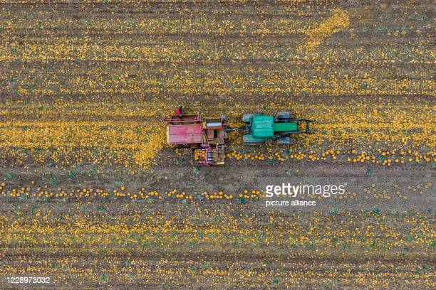 Pumpkins are harvested with a tractor Photo Armin Weigel/dpa