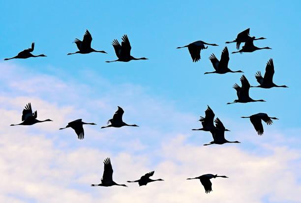 DEU: Cranes Fly To Roost