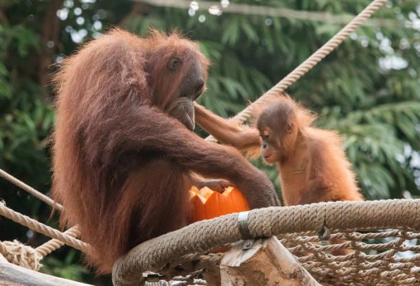 DEU: Halloween In The Orangutan House At Hagenbeck
