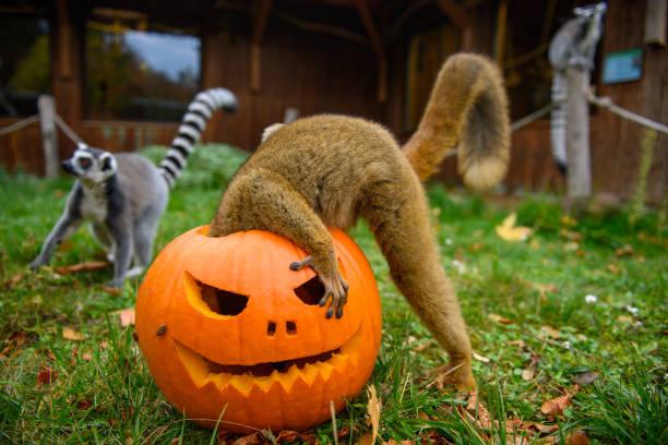 DEU: World Lemur Day