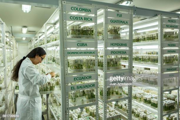 October 5 2015 A CIAT technician catalogs cassava seeds at the Genebank where 6643 varieties of cassava are stored at the headquarters in Palmira...