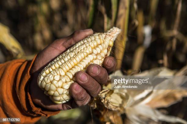 October 8 2015 A CIMMYT technician harvest maize at the CIMMYT facility in Toluca Mexico