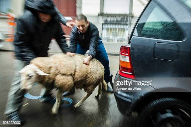October Brussels Belgium During Eid alAdha many Muslim families sacrifice a sheep and share the meat with the poor Three men take a sheep out of...