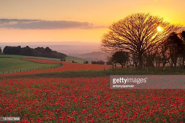 10 月の poppies 、melbury ダウン、英国ドーセット州 - 英国 ドーセット ストックフォトと画像