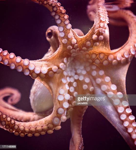 Octopus and tentacular suckers