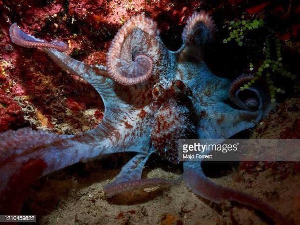 octopus at night, grand cayman - スクーバダイビングの視点 ストックフォトと画像