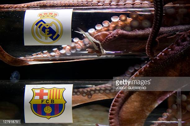 Octopus Iker eats a sardine placed inside a box decorated with the crest of the Real Madrid football team on April 26 2011 at the SeaLife Aquarium in...