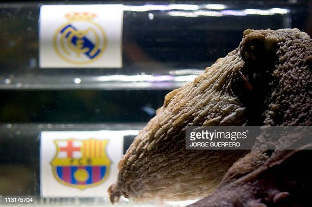 Octopus Iker swims on top of two boxes decorated with crests by the Real Madrid and Barcelona football teams on April 26 2011 at the SeaLife Aquarium...