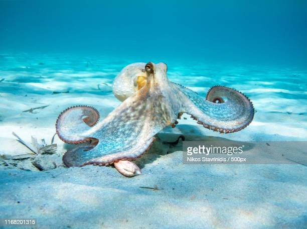 octopus in action - octopus stock pictures, royalty-free photos & images