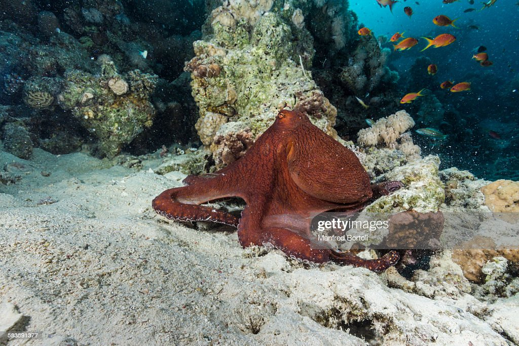 Octopus moving close to Coral reef : Stock Photo