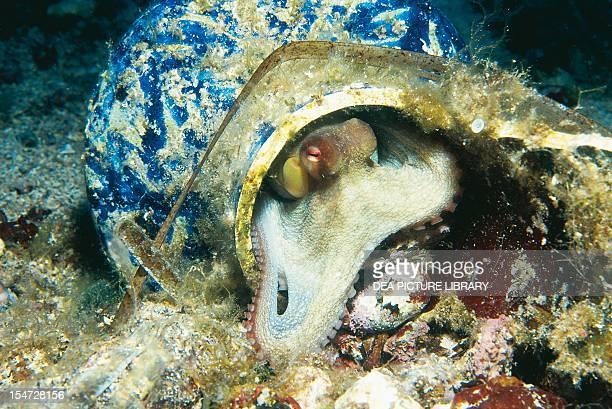 Octopus Octopodidae