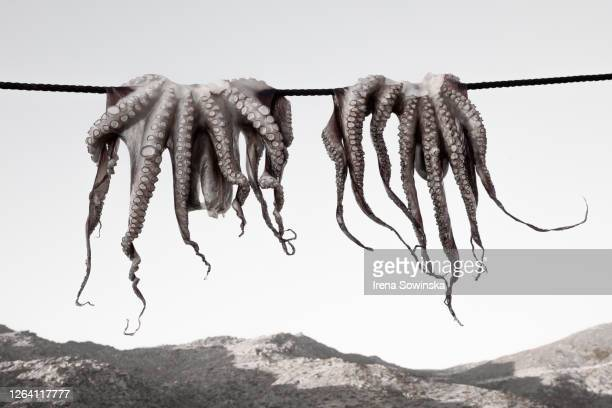 octopus - invertebrate stock pictures, royalty-free photos & images