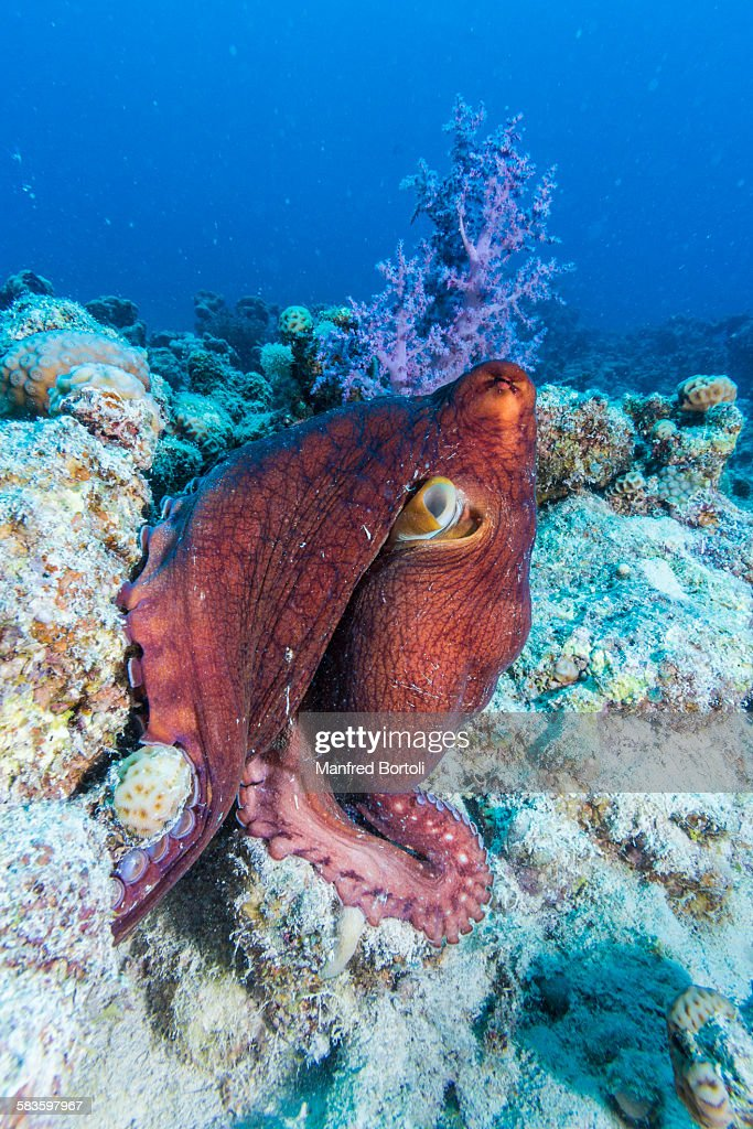 Octopus swim close to the coral reef : Stock Photo