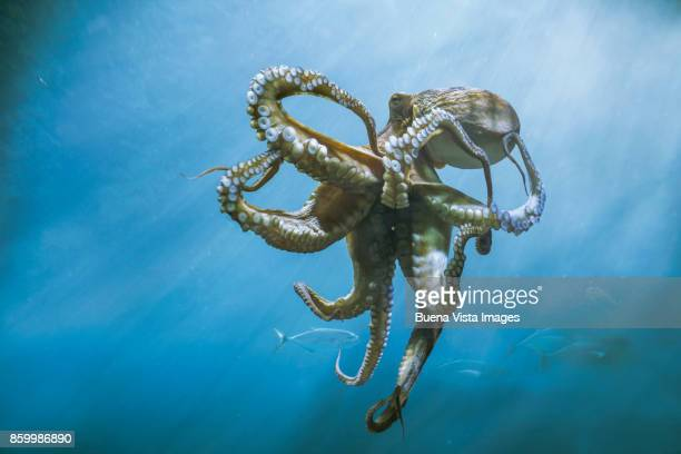 octopus underwater - octopus stock pictures, royalty-free photos & images