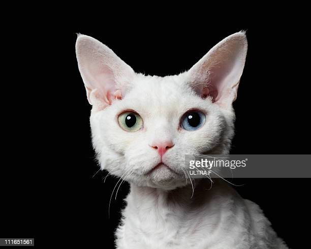 Odd-eyed cat,Devon Rex