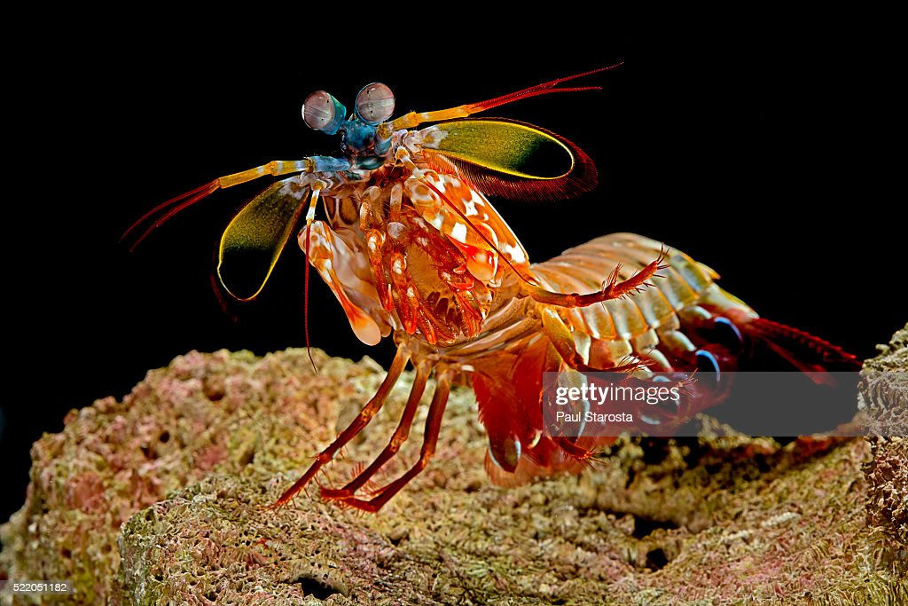 Odontodactylus scyllarus (peacock mantis shrimp, harlequin mantis shrimp, painted mantis shrimp, clown mantis shrimp) : Stock Photo