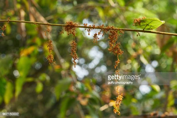 Oecophylla smaragdina (Orange ants ) hanging  on a leaf