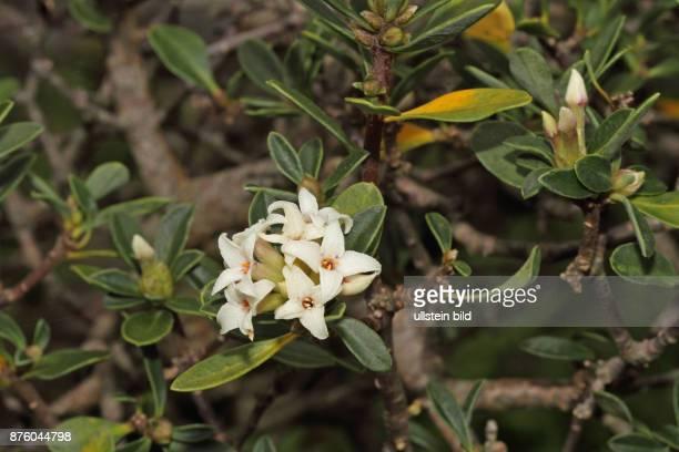 OelbaumSeidelbast Strauch mit gruenen Blaettern und weisslichen Blueten
