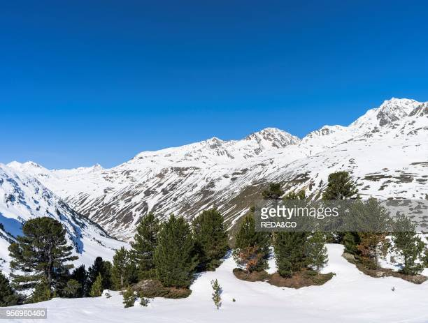 Oetztal Alps during winter with ice and snow near Vent. Tyrol. High altitude stand of Pinus cembra or Swiss Pine or Arolla Pine. Mount Wildspitze ....