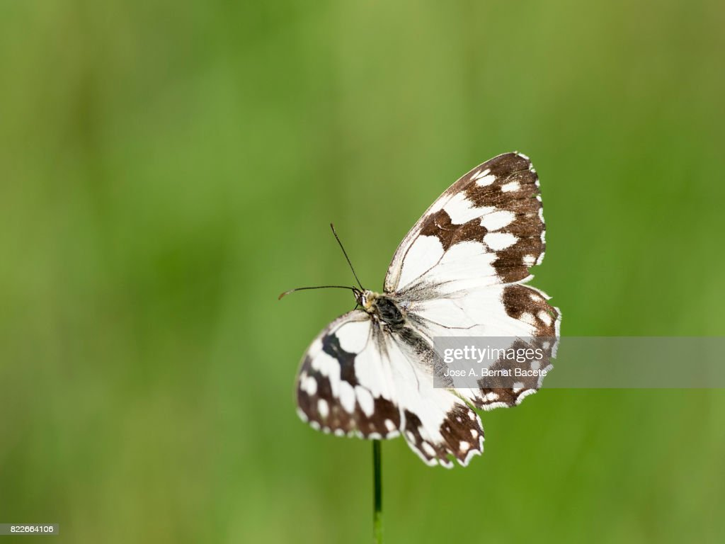 Of a butterfly with open wings over a flower with a green out of focus background. Valencia, Spain. : Stock Photo