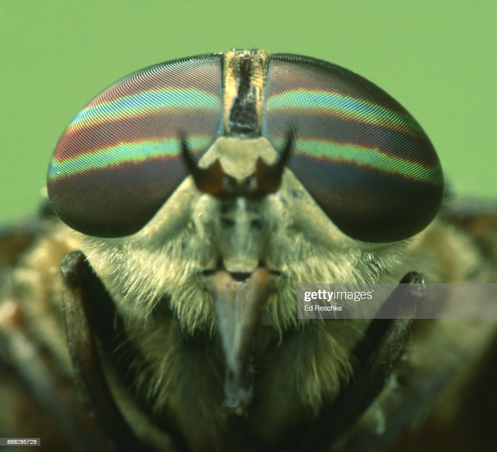 COMPOUND DYES of a STRIPED HORSE FLY (Tabanus lineola) with thousands of individual lenses : Stock Photo