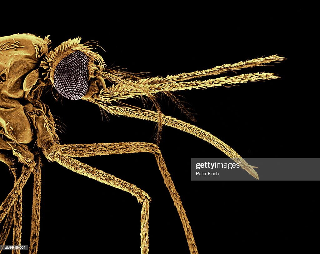 SEM of Anopheles mosquito species, carrier of malaria parasite x20 : Stockfoto
