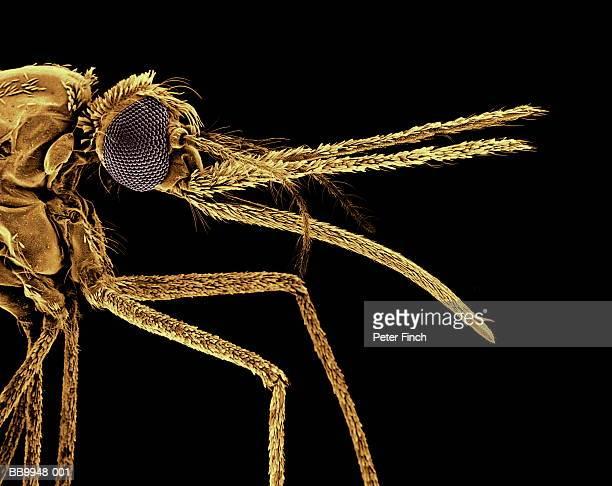 sem of anopheles mosquito species, carrier of malaria parasite x20 - マラリアカ ストックフォトと画像