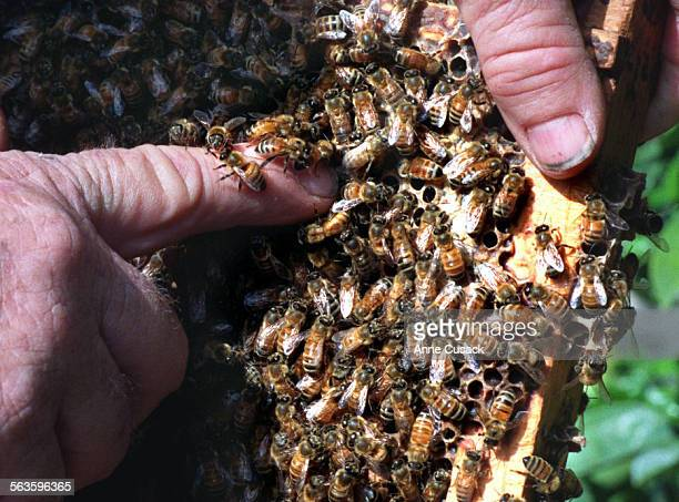 DETAIL of bees from Red Bennett's previous Honey farm in Piru Canyon crawling on his finger in a frame he has removed from a hive Red and Ann...