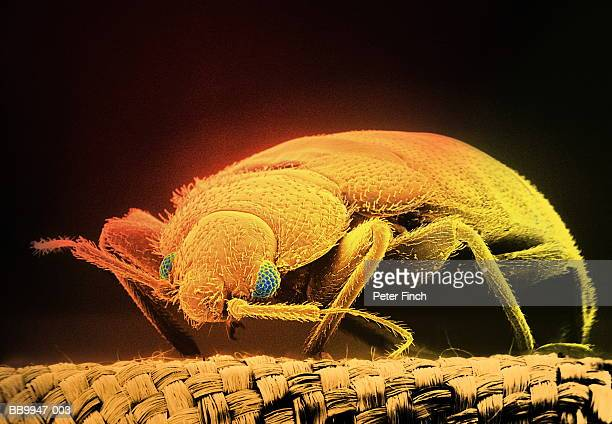 sem of bloodsucking bed bug (cimex hemipterus) x15 (digital composite) - sem stock pictures, royalty-free photos & images