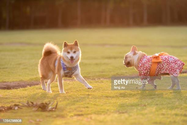 of pet shiba inu - japanese spitz stock pictures, royalty-free photos & images