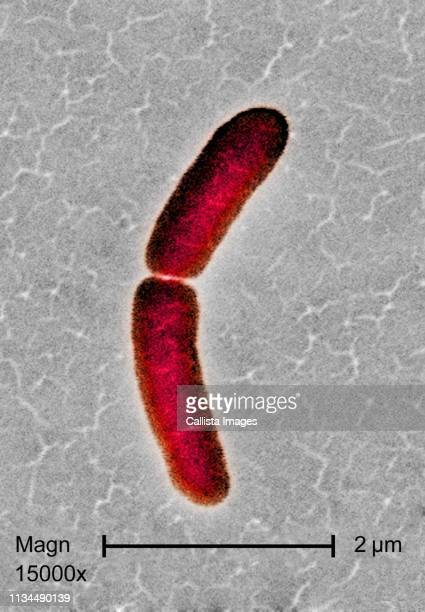 sem of salmonella typhimurium bacterium - salmonella stock photos and pictures