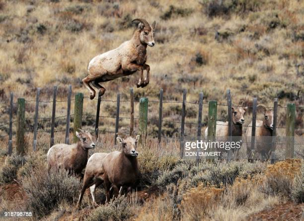 TOPSHOT offbeatA Rocky Mountain bighorn sheep leeps over a fence February 15 2018 in Almont Colorado The sheep named for it's curling horns was...