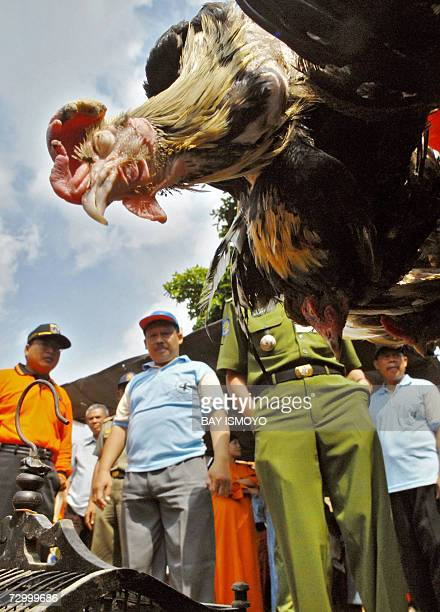 Officers prepare to kill a chicken in Jakarta 15 January 2007 as part of the Indonesian government's effort to stop the bird flu from spreading...