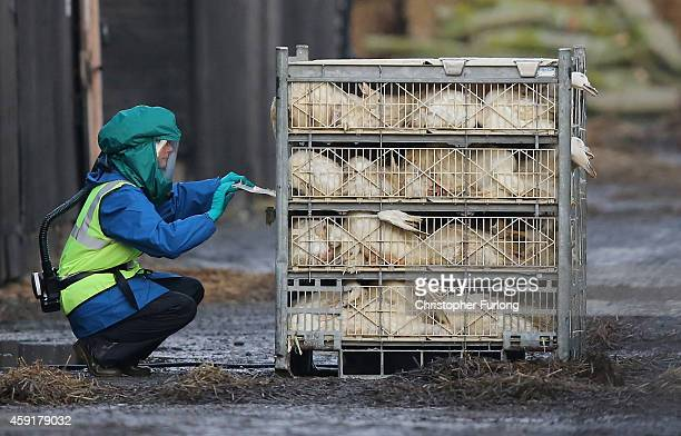 Officials from the Department for Environment Food & Rural Affairs dispose of culled ducks at a farm near Nafferton, East Yorkshire where a strain of...