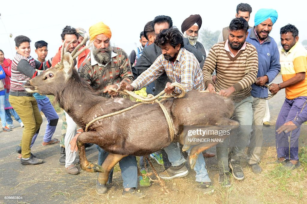 Officials from the Indian Society for the Prevention of Cruelty to Animals and local villagers help rescue a deer which fell into a drainage hole at..
