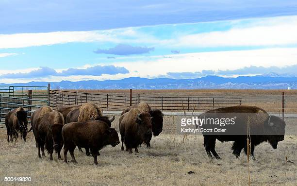 Officials from the US Fish and Wildlife Service perform health checks on the buffalo herd at the the Rocky Mountain Arsenal National Wildlife Refuge...