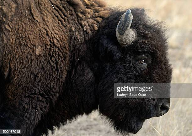 Officials from the US Fish and Wildlife Service perform health checks on the bison herd at the the Rocky Mountain Arsenal National Wildlife Refuge in...
