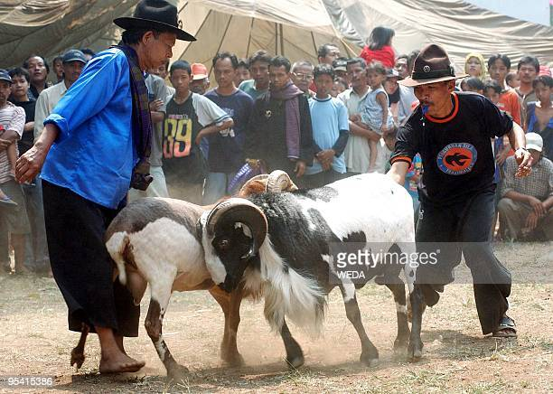 Officials intervene as two rams clash during a traditional ram fighting session held at an open air annual flora and fauna exposition in downtown...