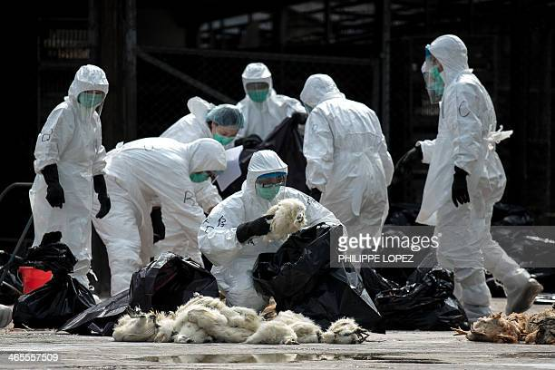 Officials wearing masks and protective suits pile dead chickens into black plastic bags in Hong Kong on January 28 2014 Hong Kong began a mass cull...