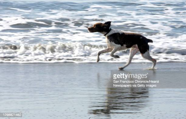 """Jpg;SHOWN: """"""""Orso"""""""" the Brittany Spaniel runs with grace and abandon and no leash on Ocean Beach. The story is about the Golden Gate National..."""