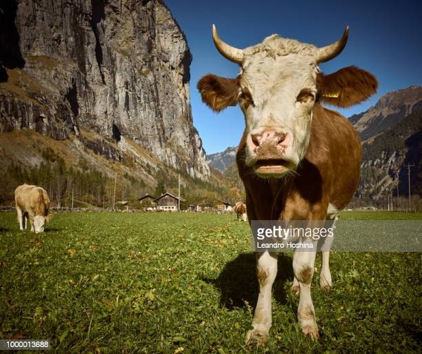 oh la vache! - vache stock photos and pictures
