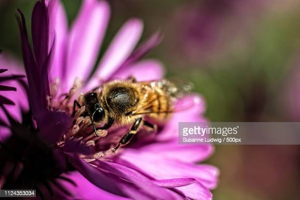 oh my aster - susanne ludwig stock pictures, royalty-free photos & images