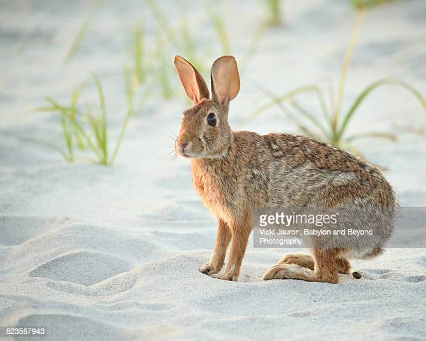 oh poop - beach bunny at fire island - rabbit beach stock photos and pictures