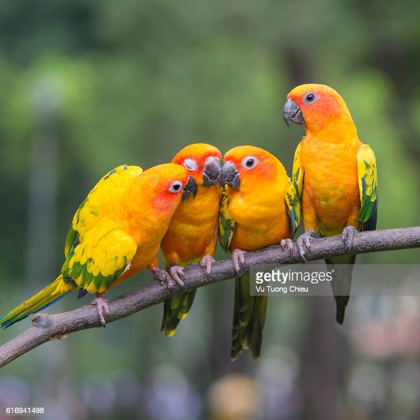 oh to much  kiss ! - tropical bird stock pictures, royalty-free photos & images