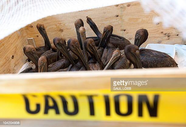 Oil covered brown pelicans found off the Louisiana coast and affected by the BP Deepwater Horizon oil spill in the Gulf of Mexico wait in a holding...